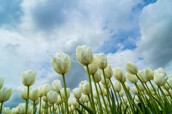 Bloem tuin zomer oranje Blauw tulpen Stockfoto © macsim