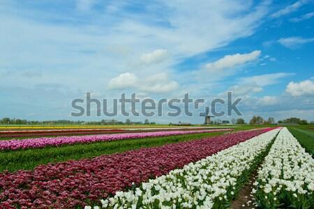 Photo stock: Tulipes · moulin · à · vent · traditionnel · coloré · domaine