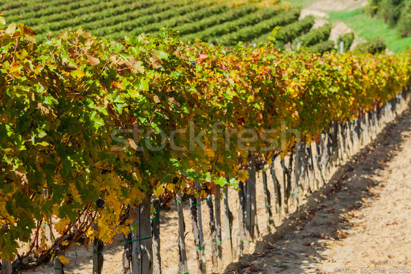Vineyard near Montepulciano, Italy Stock photo © macsim