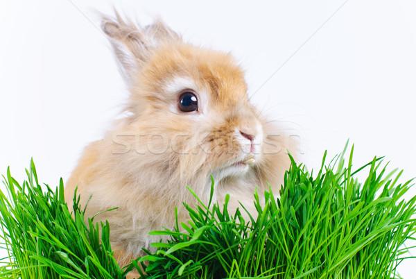 Easter Bunny. Cute rabbit sitting on green grass. Stock photo © macsim