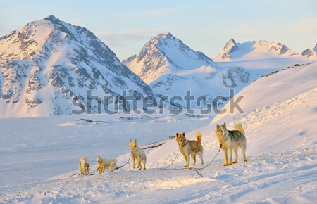 Sled dogs  running in Greenland Stock photo © mady70