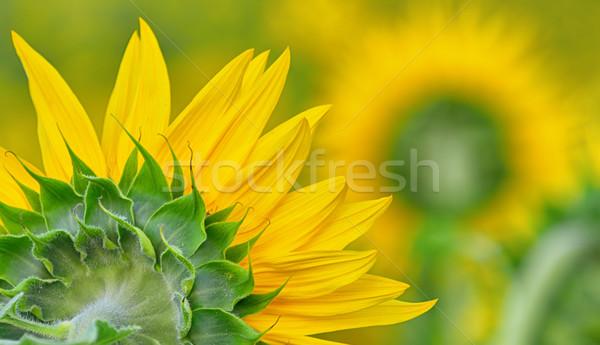 back side of sun flower Stock photo © mady70
