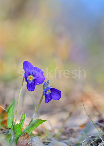 Viola odorata flowers blooming Stock photo © mady70