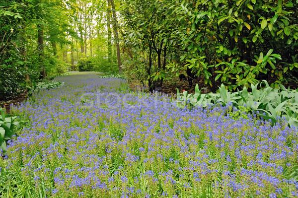 field of purple flowers Stock photo © mady70