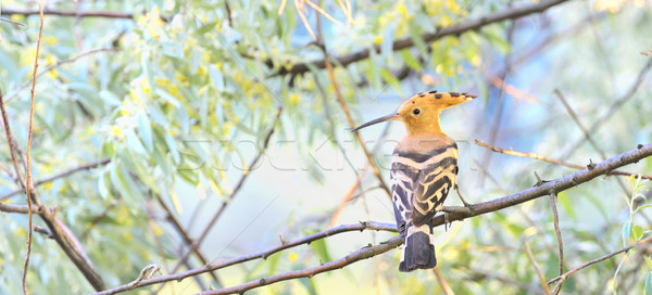 Eurasian Hoopoe Stock photo © mady70