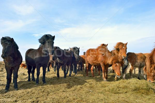 Icelandic horses  Stock photo © mady70