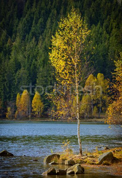 Stockfoto: Alleen · berk · boom · meer · landschap