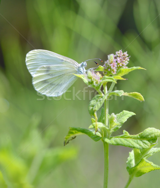cabbage white butterfly Stock photo © mady70