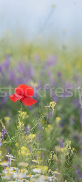 Colorido flores campo verão pôr do sol flor Foto stock © mady70