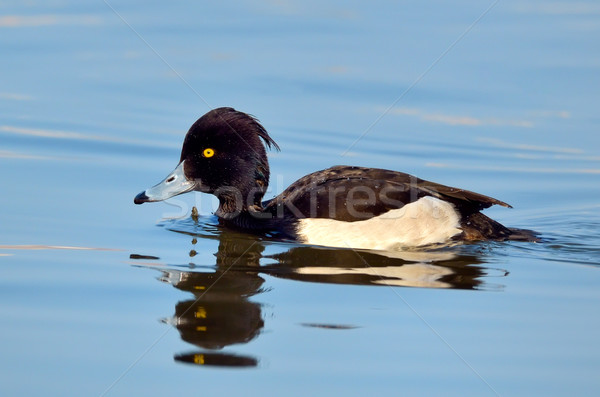 Tufted Duck Stock photo © mady70