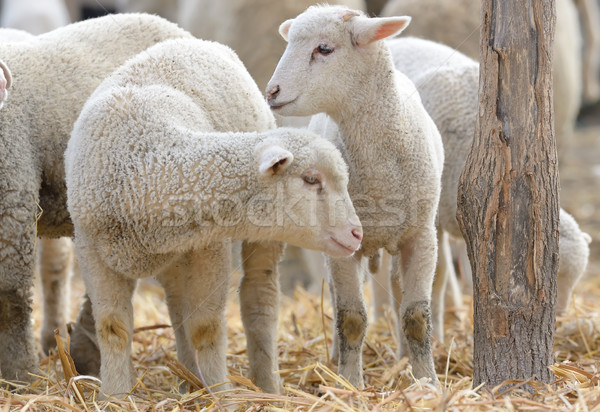 newborn lambs on the farm Stock photo © mady70