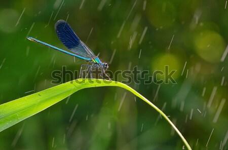 Libellule forêt printemps nature beauté animaux Photo stock © mady70