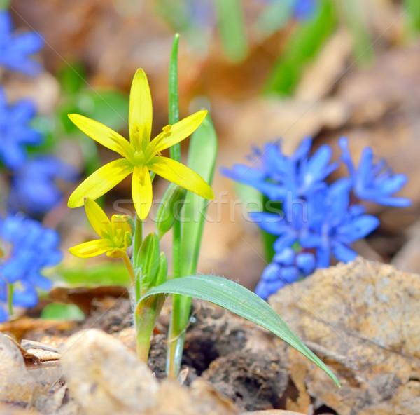 Foto stock: Primavera · flor · amarela · naturalismo · grama · fundo · quadro