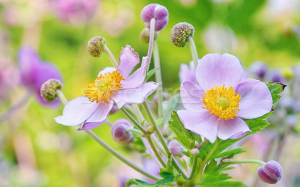 Flores macro jardim botânico flor primavera natureza Foto stock © mady70