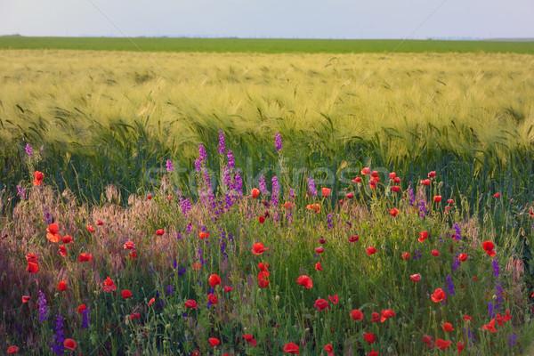 beautiful bright red poppy flowers Stock photo © mady70