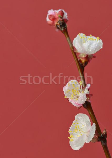 Ramo vermelho papel textura primavera Foto stock © mady70