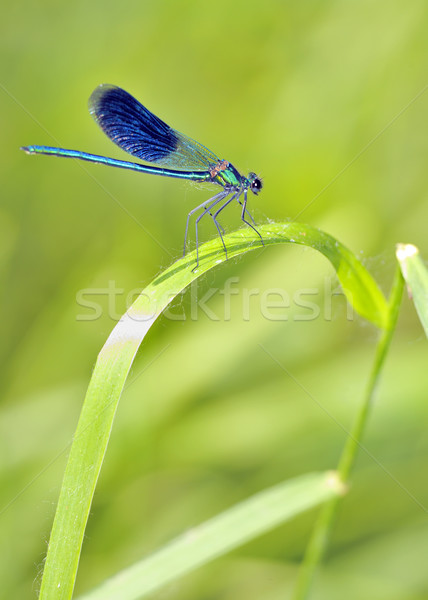 blue Dragonfly  Stock photo © mady70