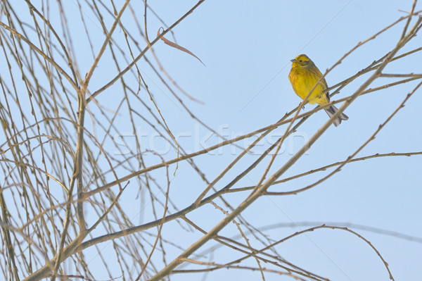 Yellow Warbler (female) Stock photo © mady70