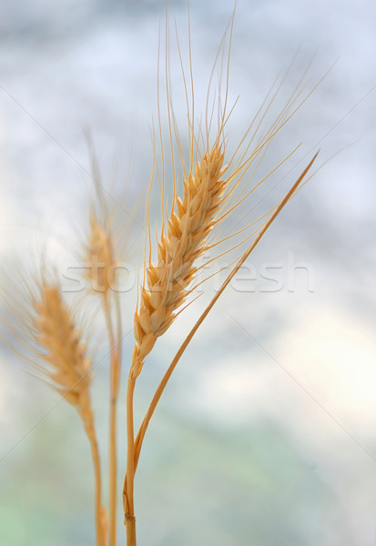 Spikelets of wheat Stock photo © mady70