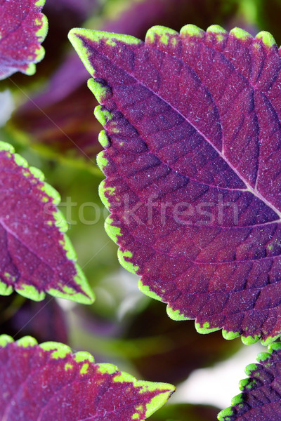 coleus close up for background Stock photo © mady70