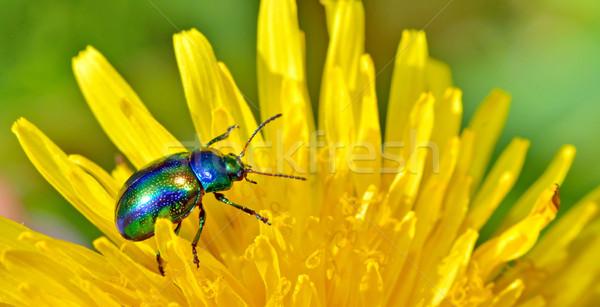 Protaetia aeruginosa isolated Stock photo © mady70