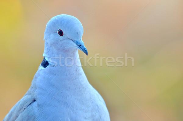 マクロ 鳩 シルエット 色 女性 白 ストックフォト © mady70