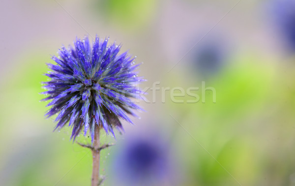 Globe Thistle flowers Stock photo © mady70