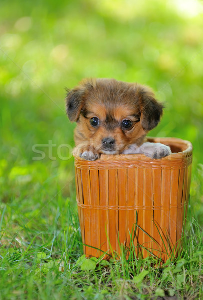 Chiot chien paille panier jeunes animaux Photo stock © mady70