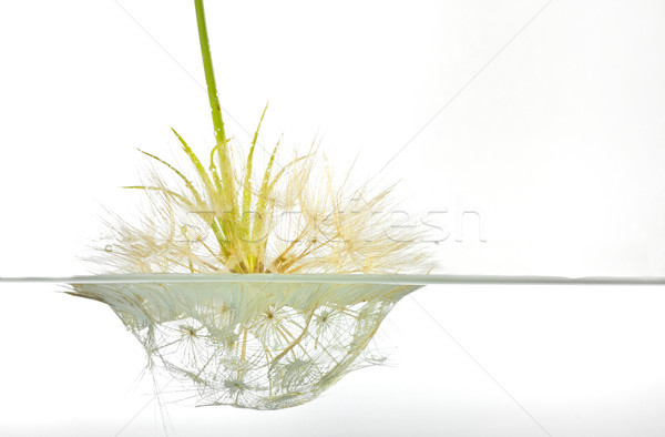 dandelion submerged under water upside down  Stock photo © mady70