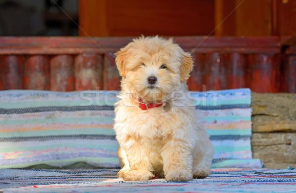 Havanese köpek yavrusu köpek güzel mutlu komik Stok fotoğraf © mady70