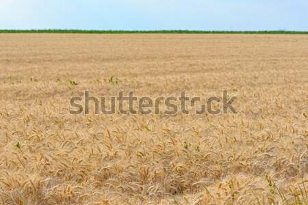 Golden Wheat field Stock photo © mady70