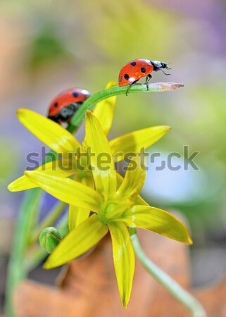 two red ladybugs Stock photo © mady70