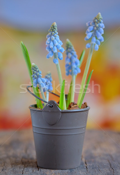 Muscari botryoides flowers  Stock photo © mady70