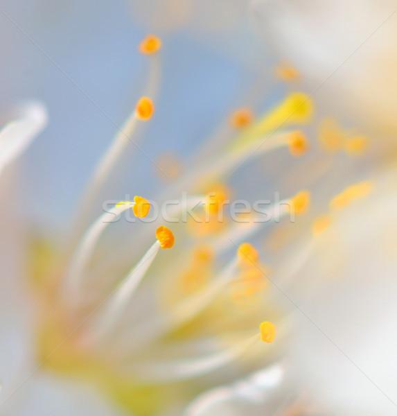 macro pistil of flower Stock photo © mady70