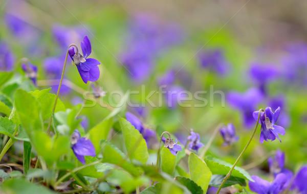 Purple фиолетовый цветы природы лист фон Сток-фото © mady70