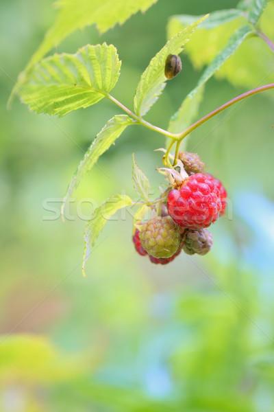 Wild raspberry Stock photo © mady70