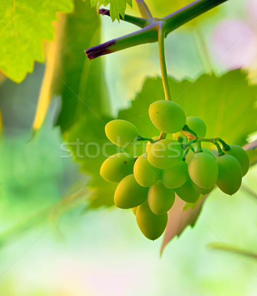 unripe grape in vineyard Stock photo © mady70