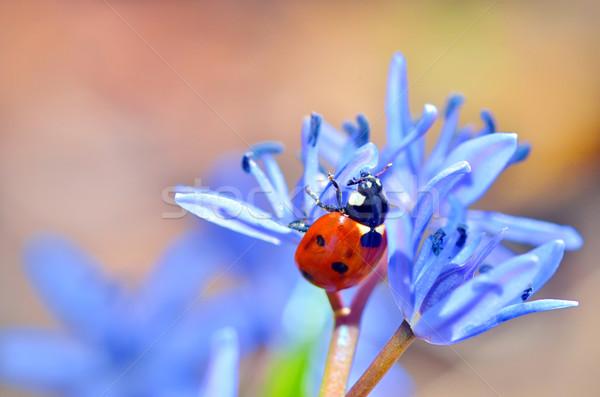 Uğur böceği mavi çiçek doğal çim doğa bahçe Stok fotoğraf © mady70