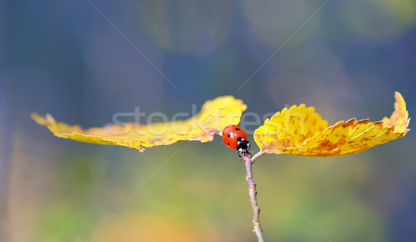 Ladybug on leaf in autumn time Stock photo © mady70