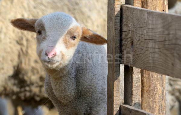 Foto stock: Recém-nascido · cordeiro · fazenda · primavera · tempo · família