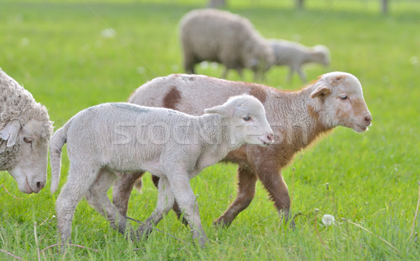 Young lambs and sheep in spring time Stock photo © mady70