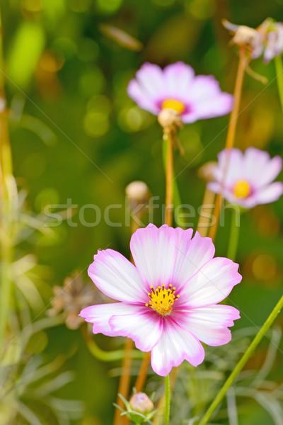 Cosmos bipinnatus flower  Stock photo © mady70