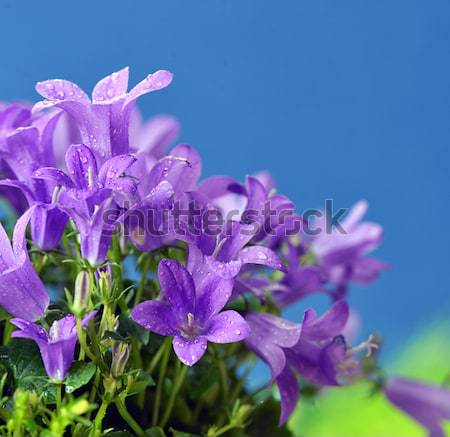 Dalmatian bellflower (Campanula portenschlagiana) Stock photo © mady70
