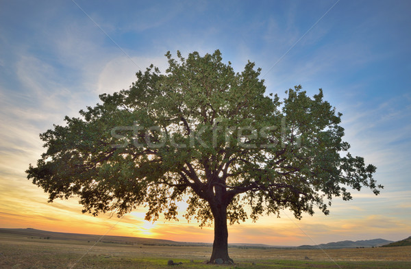 Velho carvalho pôr do sol primavera fundo verão Foto stock © mady70