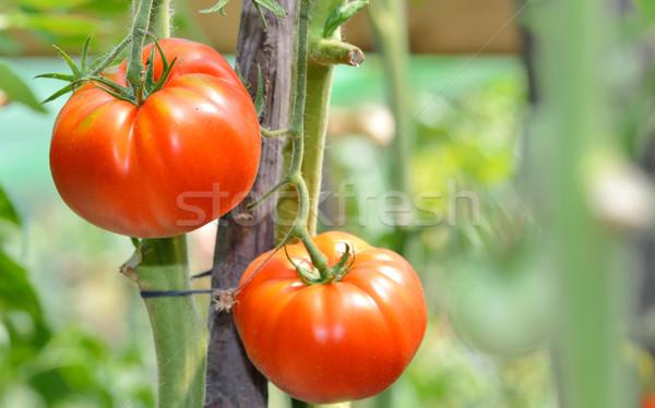 新鮮な トマト 工場 自然 フルーツ ストックフォト © mady70