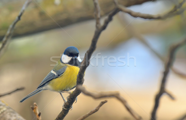 Great Tit (Parus major)  Stock photo © mady70