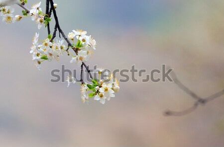 cherry-tree flowers isolated Stock photo © mady70