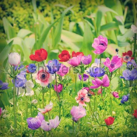 Anemones in Keukenhof garden Stock photo © mady70
