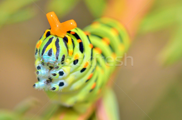 wild caterpillar of Papilio Macaone  Stock photo © mady70