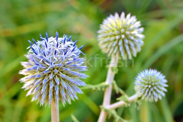 Blauw wereldbol bloem achtergrond zomer hoofd Stockfoto © mady70